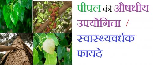 पीपल का पेड़ के आयुर्वेदिक और स्वास्थ्यवर्धक फायदे