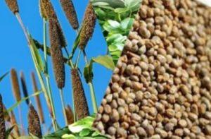बाजरा खाने के फायदे और नुकसान
